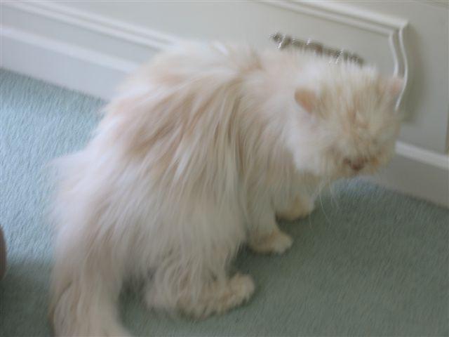 cat who says diabetes